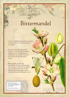 Bittermandel                                                                                                                                                                                 Mehr