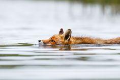 Wet Fox 2 by Pim Leijen on 500px