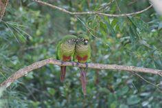 Foto tiriba-de-testa-vermelha (Pyrrhura frontalis) por Ivan Angelo | Wiki Aves - A Enciclopédia das Aves do Brasil