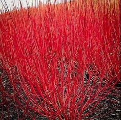 Buy Red twig dogwood 'Red-osier dogwood' (Cornus sericea) online from Direct Gardening Dogwood Shrub, Red Osier Dogwood, Red Twig Dogwood, Dogwood Trees, Trees And Shrubs, Red Shrubs, Shade Shrubs, Gardens, Fall Planters