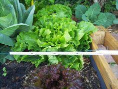 Squarefoot mit 30cm-Raster ist im EM-Bereich einfach zu wenig. Der Salat braucht mindestens 40cm.