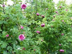 in teh garden of Ca' delle Rose www.cadellerose.org