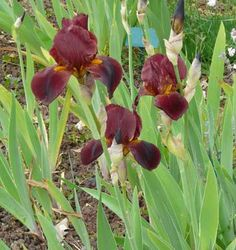 Iris Caliente