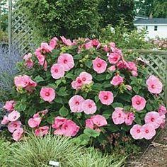 winter hardy hibiscus | Serenity in the Garden: Dinner Plate Hibiscus - Hibiscus moscheutos