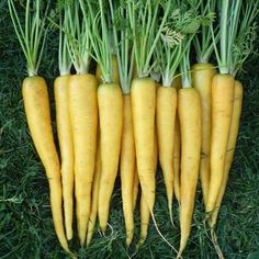 300 PCS Bonsai Rainbow Carrot seeds Rare Chinese Vegetable Seeds-Healthy Organic Sugar Carrot seeds Plant For Home Garden Yellow Vegetables, Chinese Vegetables, Root Vegetables, Healthy Vegetables, Healthy Fruits, Growing Vegetables, Carrot Seeds, Fruit Seeds, Nutritious Snacks