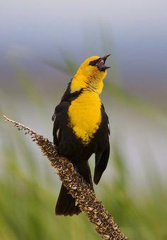 "yellow headed blackbird | Yellow-headed Blackbird ""singing"" | Flickr - Photo Sharing!"