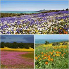 The beautiful West Coast of South Africa is well-known for its Springtime Floral Season. The 600 km trip from Cape Town via Langebaan to Springbok is amazing.  You should add it to your #ThingsToDo list. It's so beautiful, peaceful and tranquil. The local people are friendly. 💞 Cape Town, The Locals, Spring Time, West Coast, South Africa, Things To Do, Seasons, Mountains, Amazing