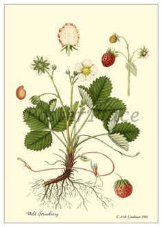 Wild Strawberry Antique Botanical print reproduction. $3.95, via Etsy.
