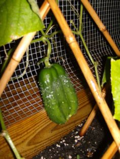 """A """"triple dog dare you"""" cucumber that grew in my garden:)❤️"""