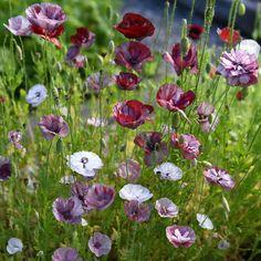 Kornvallmo 'Pandora' i gruppen Fröer hos Impecta Fröhandel Garden Flower Beds, My Secret Garden, Papaver, Greenhouse Growing, Flower Pots, Plants, Beautiful Flowers, Spring Blooms, Garden Planning