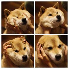 fluffy Maru, the squishy Shiba!