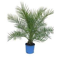 Die hanfpalme im garten oder als zimmerpflanze beides ist m glich zimmerpflanzen palme - Hanf zimmerpflanze ...