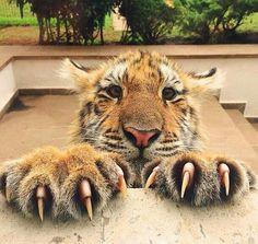 Hotels-live.com/cartes-virtuelles #MGWV #F4F #RT Follow @AnimalsFocus for more cute animal photos! @AnimalsFocus. Photo Credit: @blackjaguarwhitetiger. Tag: #lifeonourplanet by lifeonourplanet https://www.instagram.com/p/_ZpEAGCSQR/