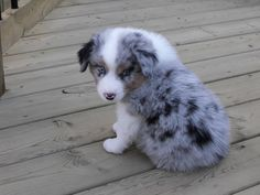 Our Puppy a Mini Australian Sheppard (Optimus)