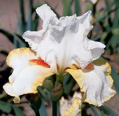 Halloween Halo | Fragrant TB Iris-another beautiful iris from Schreiner's Gardens