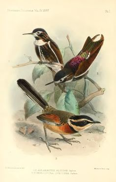 Notes on the localities visited by O. T. Baron in Northern Peru and on the Trochilidae found there - BioStor
