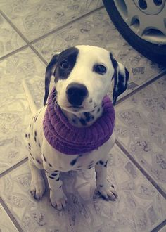 baby dalmatian, #puppy, #pet, dogs, frida - by Kimmie Lima