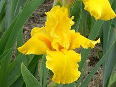 TB Iris germanica 'Pharoah's Gold' (Brown, 1989)