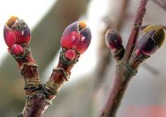 Vaahtera, Acer platanoides - Puut ja pensaat - LuontoPortti