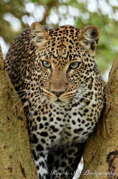 Big Cat -- Leopard -- Though Lake Nakuru is only a small park it has so much going for it.