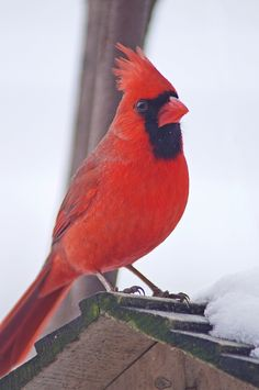Cardinal on a roof