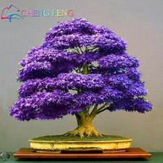 Mini Beautiful Japanese purple Maple Bonsai Seeds, DIY plant bonsai shrub tree seeds, fresh maple seeds 50pcs free shipping #>=#>=#>=#>=#> Click on the pin to check out discount price, color, size, shipping, etc. Save and like it!