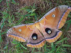 ...I'm thinking this is a Polyphemus moth so pretty