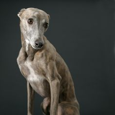 Whippet  Looks human!