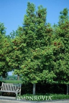 Savannah Holly 20--30' tall, light green