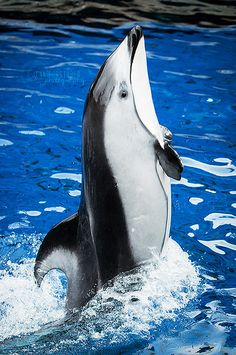 Sea Life - Pacific White-Sided Dolphin