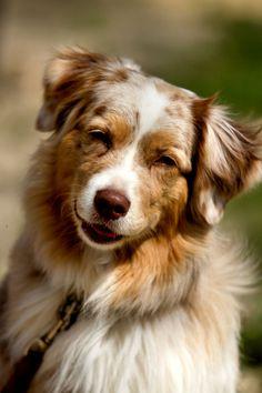 Australian Shepherd Puppy Dog