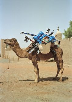 Camel and skis, Sahara Desert, Morocco ...