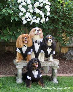 """Downton Abbey Cavalier's, the one on the far right's expression eyes looking to his left, """"seriously we're dressed like the butler"""" King Charles Spaniel, Cavalier King Charles, Cavalier Rescue, Animal Dress Up, Cocker Spaniel Dog, Best Dog Breeds, Dog Wedding, Puppy Love, Cute Dogs"""