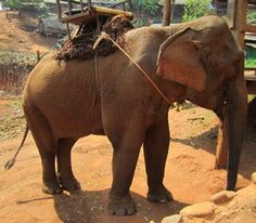 This elephant from Thailand joined the Fan Club courtesy of Juliana Najak.