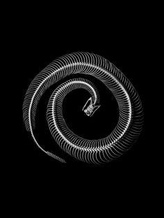 Serpientes de cascabel (Crotalus sp.)