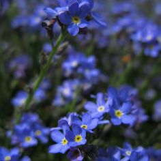 How to Grow Forget Me Not Flowers | Garden Guides.  Plant in back yard near deck