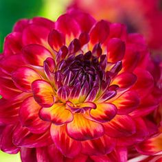 50 dahlias to drool over | 'Brittany Rey' | Sunset.com - What beautiful color!!!!