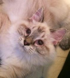 Meet Jackson, a Petfinder adoptable Ragdoll Cat   Franklin, TN   Jackson is so special. We found him at a kill shelter when he was too young to eat on his own. He...