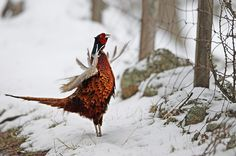 A pheasant walks through the snow in Glen Gairn on 4 April in Ballater, Scotland. Photograph: Jeff J Mitchell/Getty Images.