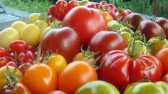 """Für die Anzucht am Balkon habe ich sehr kleinwüchsige Pflanzen angebaut, wie zum Beispiel """"Balkonstar"""", """"Bianca"""", """"Vilma"""" oder """"Cherry-Red"""". Sie werden meist nur rund 50 Zentimeter hoch und tragen sehr viele Früchte auf wenig Raum. """"Balkonstar"""" & Co eignen sich sogar für kleine Blumenkisten am Fenster. Tomaten, die im Topf angepflanzt werden, sollte man jeden Tag gießen. Jedoch sollte man darauf achten, dass keine Staunässe entsteht und überschüssiges Gießwasser ablaufen kann."""