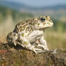 Картинки по запросу Лягушка-голиаф
