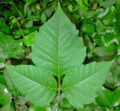 wikiHow to Identify Poison Ivy -- via wikiHow.com Poison Ivy Cure, Poison Ivy Remedies, Poison Oak, Outdoor Fun, Outdoor Camping, Camping Ideas, Outdoor Ideas, Identify Poison Ivy, Poison Ivy Treatment