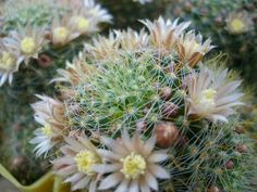 Mammillaria crinita subsp. wildii – Fishhook Pincushion Cactus  See its profile and more photos here ◢ http://www.worldofsucculents.com/mammillaria-crinita-subsp-wildii-fishhook-pincushion-cactus/