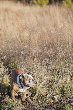 English Bulldog, on location dog portraits © Casey Hendrickson Photography English Bulldogs, In Loving Memory, Bullies, Dog Portraits, Make Me Smile, Dog Tags, Funny Things, Memories, Photography
