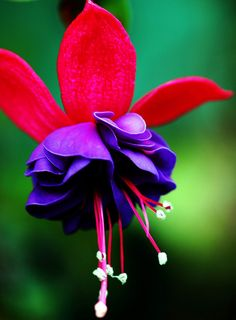 All sizes | Fuchsia flower. | Flickr - Photo Sharing!