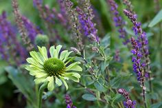 I adore this combination. Green Jewel' coneflower with 'Caradonna' salvia in the background.