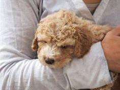 Anett Seidensticker - Photographie - Podgi & Beppa Lagotto Romagnolo, Cute Animals, Creatures, Dogs, Pets, Photography, Dog Training School, Photo Shoot, Pretty Animals