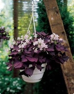 burgundy shamrock, oxalis triangularis