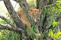 The Big Five in Kenya #lion #cub #cute