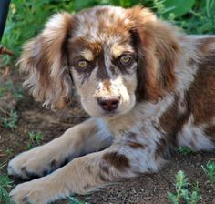 Oh my goodness.  Australian shepherd/Cocker spaniel mix.  SO PRETTY!